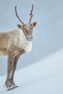 Caribou_hiver_11_2020.png