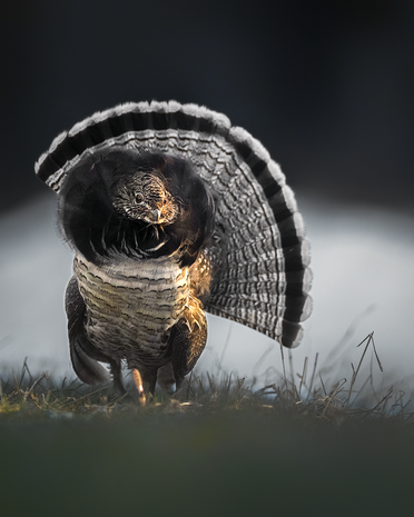 Altercation avec un coq