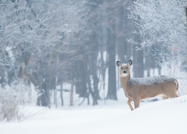 Cerf_hiver_1_2019.png