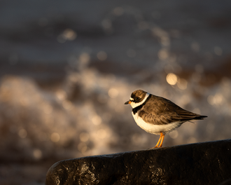 Oiseau_becasseau_12_2021.png