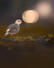 Oiseau_pluvierargente_3_2020.png