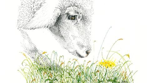 sheep yellow flower003.jpg