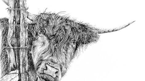 Highland-cowLR.jpg