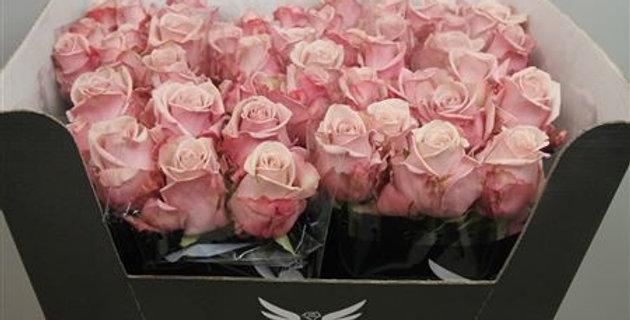 577 Rosa gr lovelace+