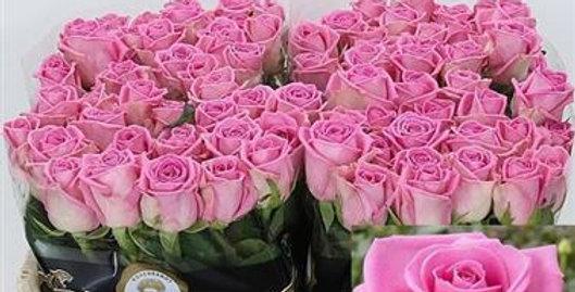 Rosa gr aqua