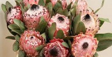 Protea barbigera 40 cm
