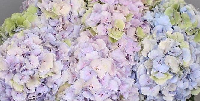 Hydrangea verena pastel mix