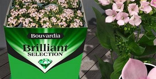 Bouvardia Sweet Roza