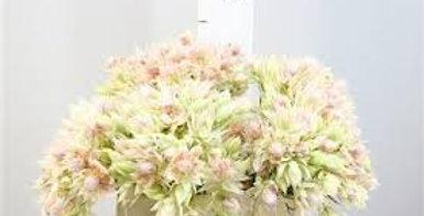 Kaaps groen blushing bride