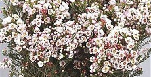 Chamelaucium moonlight delight pink