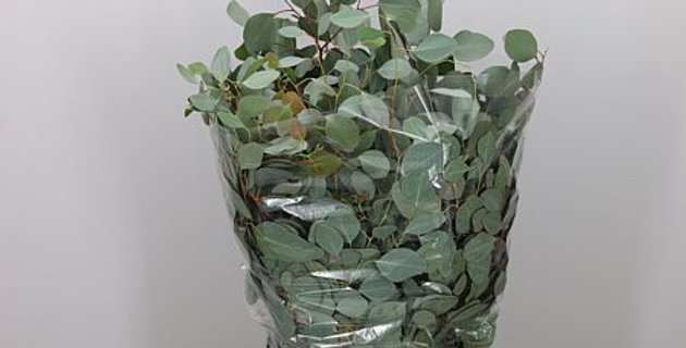 Blad eucalyptus populus 400
