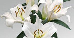 Lilium or zambesi