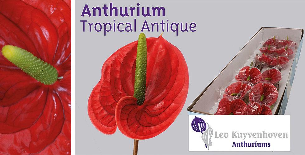 anthurium tropical 16