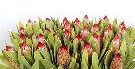 Protea robijn 40 cm