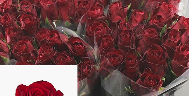 Rosa gr madam red