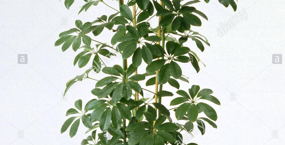 .Schefflera arboricola compacta 100 cm