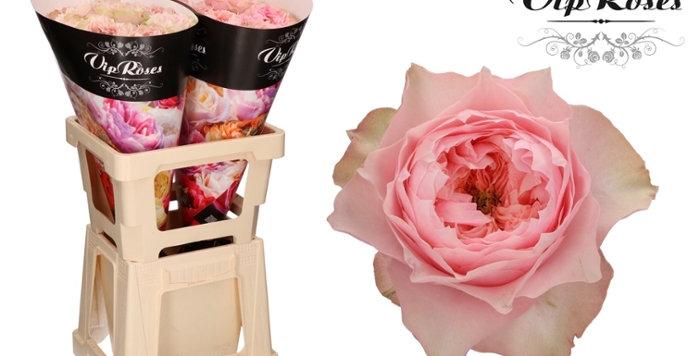Rosa gr bloomsbury