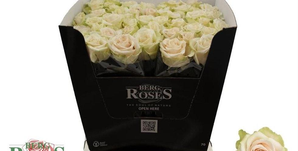 Rosa gr adore avalanche+
