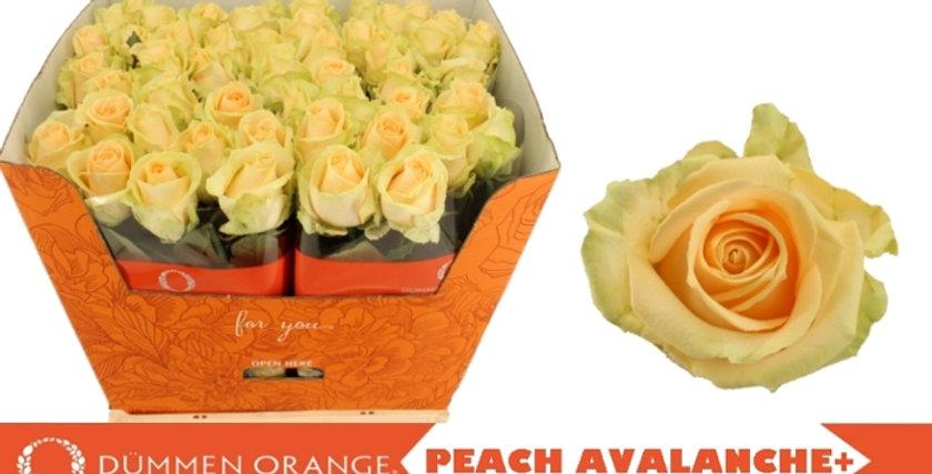 Rosa gr peach avalanche+