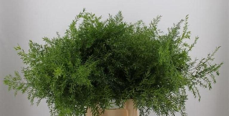 Blad asparagus dens cwebe 40 cm