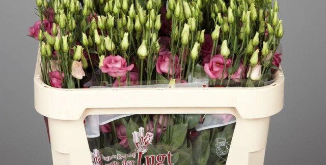 Lisianthus du rosita pink