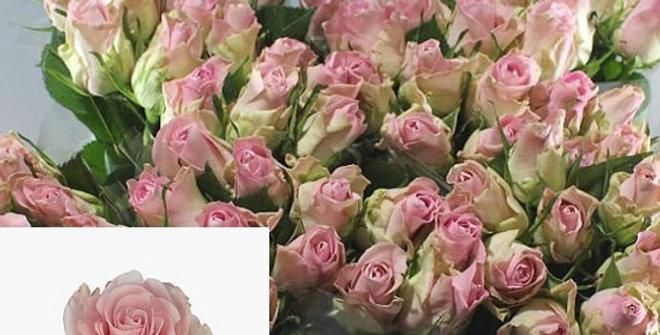 Rosa gr bisou