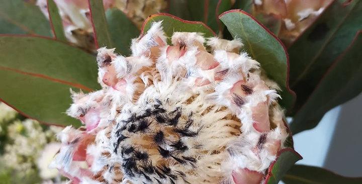 Protea barbidera