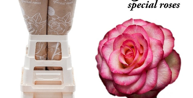 Rosa gr caroussel illusion