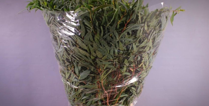 Blad eucalyptus domenichina 400