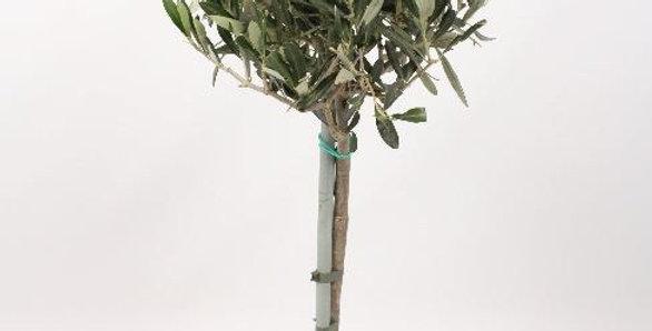 Olīvu koks 200 cm