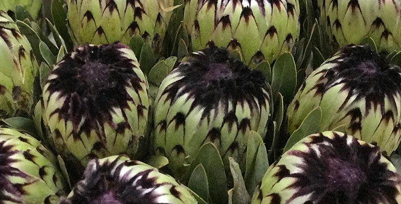 Protea barbigeria niobe 40 cm