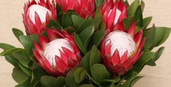 Protea king madiba 50cm