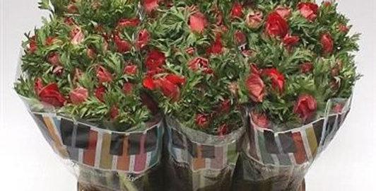 Anemone galil red
