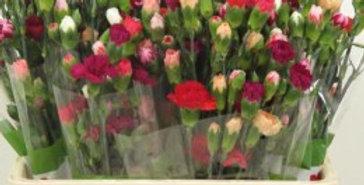 dianthus tr rainbow mix in bunch