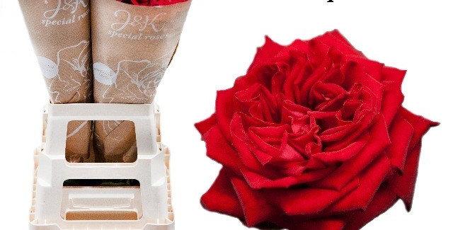 Rosa gr red elegance