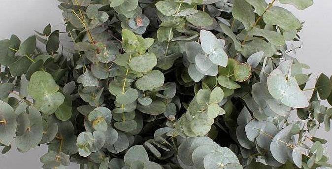 Blad eucalyptus cinerea