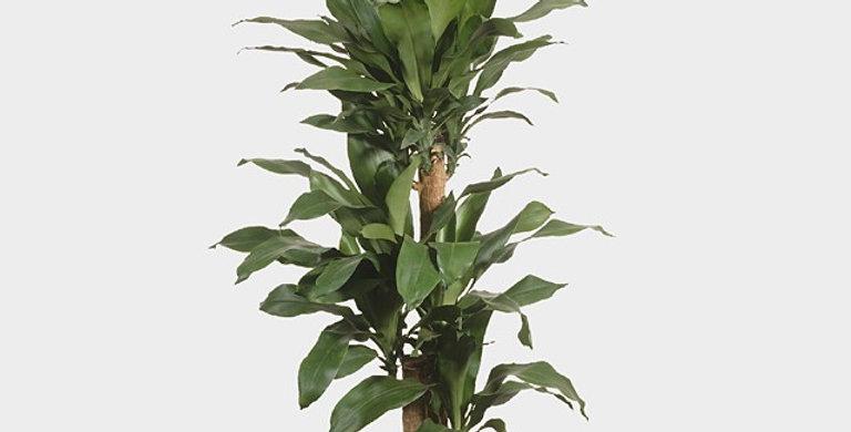 .Dracaena fragrans compacta grp green jewe 105 cm