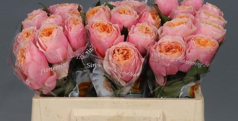 Rosa gr peach vuvuzela 35 cm