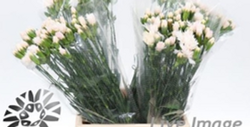dianthus tr egon white