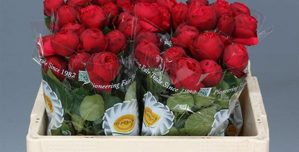 Rosa gr piano 35 cm