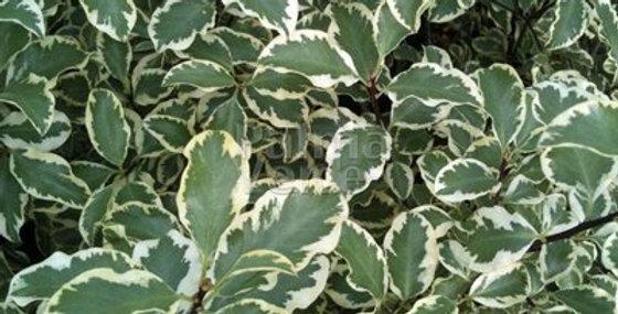 Blad pittosporum tenuifolium