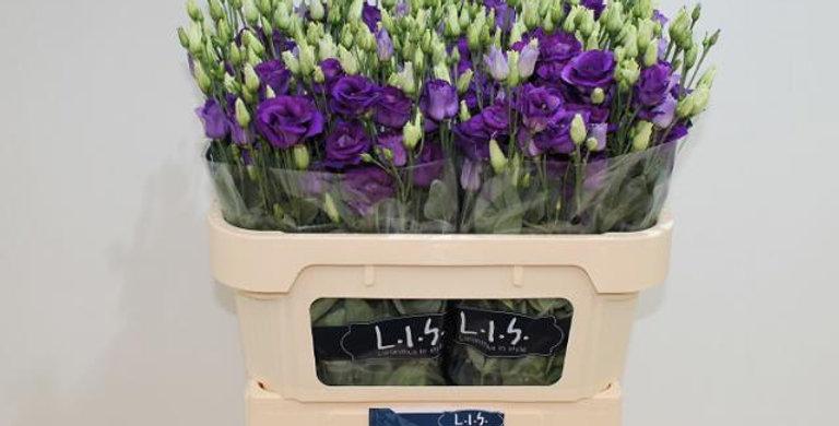Lisianthus du rosita blue