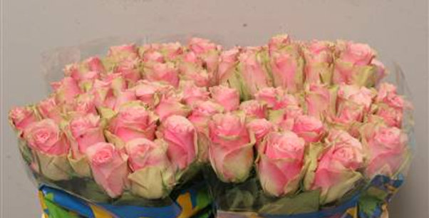 Rosa gr belle rosse