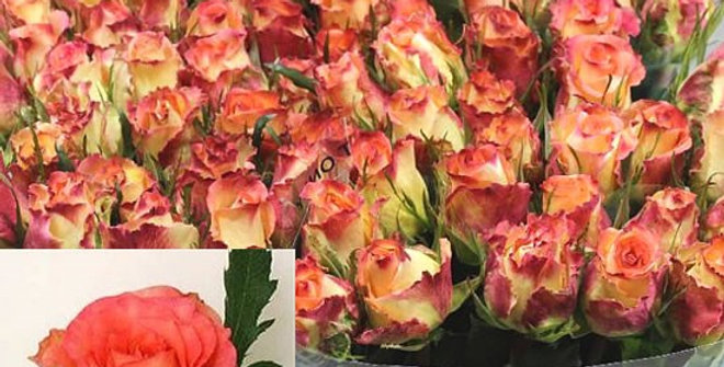Rosa gr duett