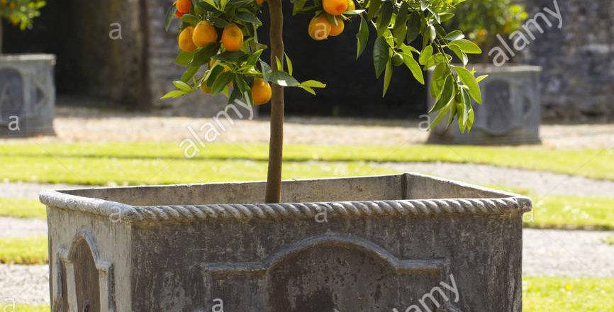 .Citrus sinensis 190 cm