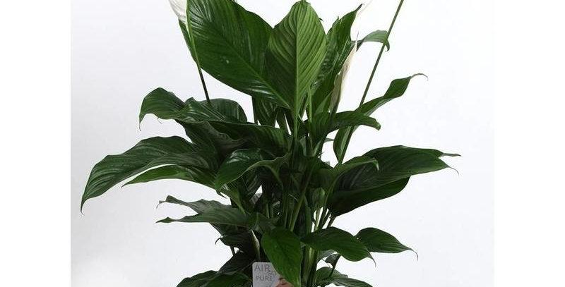 .Spathiphyllum sweet sebastiano 135 cm