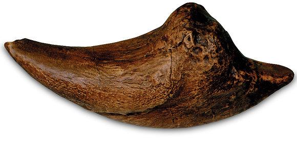 Tyrannosaurus Claw