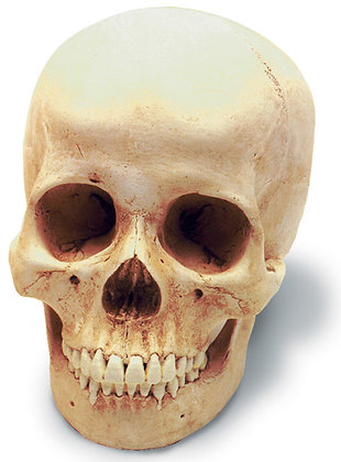Human Female Skull w-  std