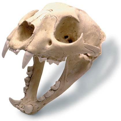 Mountain Lion Skull w- std