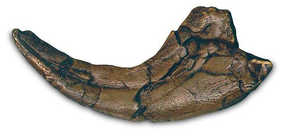 Utahraptor Claw